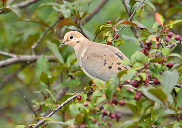 """<div class=""""jaDesc""""> <h4>Mourning Dove in Crabapple Tree - August 14, 2010 </h4> <p>The Mourning Doves have been scarce all summer because we have a resident Sharp-shinned Hawk in the nearby woods. This guy braved a visit to our yard and hung out in our crabapple tree before venturing down to ground feed.</p> </div>"""