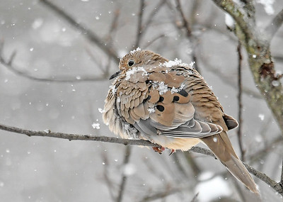 Mourning Dove in Heavy Snowfall - December 7, 2018