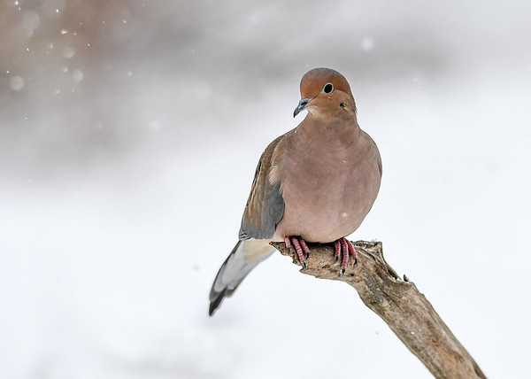 """<div class=""""jaDesc""""> <h4> Mourning Dove in Snow Storm - December 9, 2016 </h4> <p>This Mourning Dove flew into the feeder area during the snow storm.  They like to ground feed on white millet and safflower seeds.</p> </div>"""
