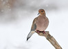 "<div class=""jaDesc""> <h4> Mourning Dove in Snow Storm - December 9, 2016 </h4> <p>This Mourning Dove flew into the feeder area during the snow storm.  They like to ground feed on white millet and safflower seeds.</p> </div>"