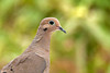 "<div class=""jaDesc""> <h4> Mourning Dove On Alert - August 24, 2011 </h4> <p>Our Mourning Dove population has grown from 6 to 16 over the summer. Usually they are quiet and hidden under the bushes looking for seed. Only when I go out and accidentally flush them do I realize how many are around.  This guy had his his neck stretch tall as he alerted on a noise.</p> </div>"