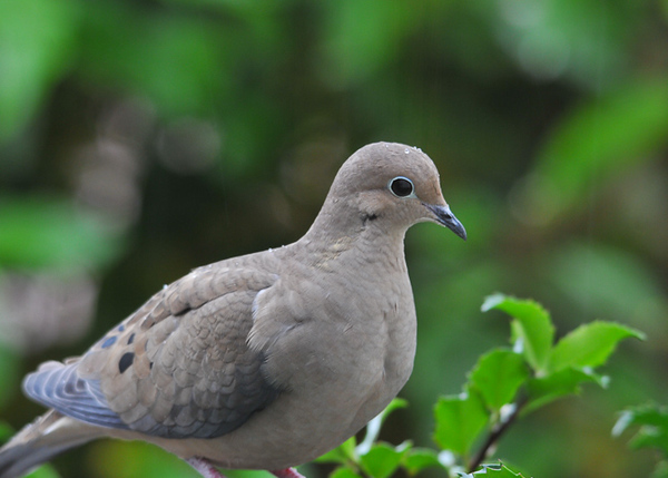 "<div class=""jaDesc""> <h4>Mourning Dove in Holly Bush - October 23, 2012 </h4> <p> We have 16 Mourning Doves visiting our yard multiple times per day.  They go through a lot of white millet seed.  I enjoy their cooing call.</p> </div>"