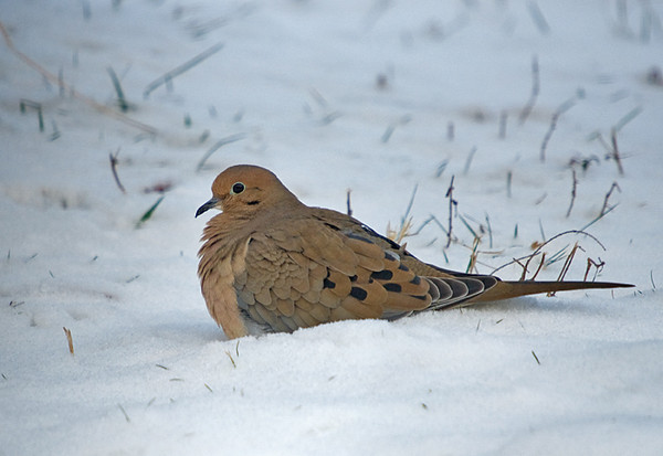 """<div class=""""jaDesc""""> <h4>Mourning Dove - Sun Bathing in Snow - December 8, 2008 </h4> <p> The day after our recent snowstorm, the Mourning Doves seemed to enjoy sun bathing in the snow.  This female took rest breaks between times when she gathered white millet seed.</p> </div>"""