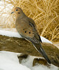 """<div class=""""jaDesc""""> <h4>Mourning Dove on Snowy Perch - December 8, 2006 </h4> <p> With the arrival of snow and cold weather, the Mourning Doves are following their normal routines. A pair are in every morning at dawn to eat white millet seed on the ground around the feeder areas.</p> </div>"""