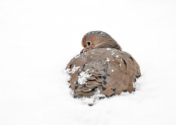 "<div class=""jaDesc""> <h4> Mourning Dove Half Buried in Snow - December 7, 2018 </h4> <p></p></div>"