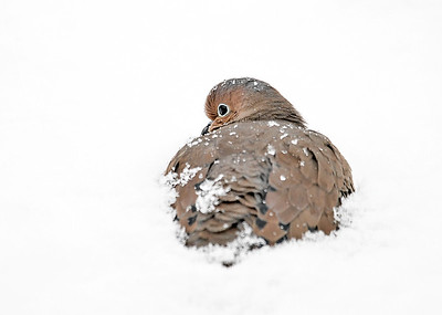 Mourning Dove Half Buried in Snow - December 7, 2018