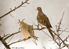 """<div class=""""jaDesc""""> <h4>Mourning Dove Pair in Snowstorm - December 13, 2007 </h4> <p> This Mourning Dove pair was hanging out together during a snowstorm.</p> </div>"""