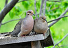 "<div class=""jaDesc""> <h4> Mourning Dove Courtship - May 17, 2014 </h4> <p>This pair of Mourning Doves were snuggled up right next to each other.  The male spent a lot of time grooming the female.</p> </div>"