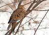 """<div class=""""jaDesc""""> <h4> Mourning Dove Perched in Serviceberry Tree - January 15, 2012 </h4> <p>As soon as we get the first significant snowfall, more Mourning Doves seem to show up. We now have 8 Mourning Dove regulars coming in multiple times during the day.</p> </div>"""