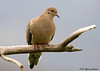 """<div class=""""jaDesc""""> <h4>Mourning Dove Resting - November 9, 2007 </h4> <p> Two pair of Mourning Doves were visiting the feeder area.  This one chose to rest on a perch overlooking the others while they were ground feeding.</p> </div>"""