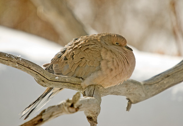 """<div class=""""jaDesc""""> <h4>Mourning Dove Staying Warm - November 23, 2008 </h4> <p> Our Mourning Doves disappeared for over a month.  In the past few days, 2 have starting coming into the feeder area again.  This guy is fluffed to stay warm in the chilly morning air.</p> </div>"""
