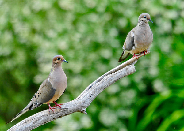 "<div class=""jaDesc""> <h4>Mourning Dove Pair on Perch - June 10, 2014 </h4> <p> Mourning Doves mate for life.  It is always nice to see a pair hanging out together in our feeder area.  This is one of their favorite perches that I brought in from the woods.</p> </div>"