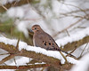 "<div class=""jaDesc""> <h4>Mourning Dove in Snowy Tree - February 16, 2010 </h4> <p> Four Mourning Doves were perched in a snow-laden white pine tree.  I was able to find a line through the branching to get a shot of this one.</p> </div>"