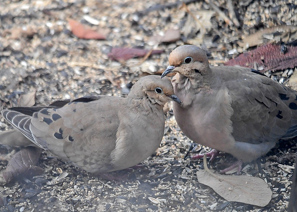 "<div class=""jaDesc""> <h4> Mourning Doves in Love #2 - March 29, 2018 </h4> <p>They kept their heads and necks close together for about 5 minutes.  Here they are taking a break from grooming.</p> </div>"