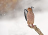 "<div class=""jaDesc""> <h4> Mourning Dove Ready for Take-off - December 9, 2016 </h4> <p>After spotting a likely ground feeding spot, she lifted her wings and moved down to where I had trampled the snow.</p> </div>"