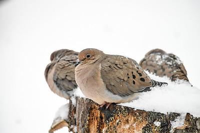 Mourning Dove Trio on Suet Log - December 7, 2018