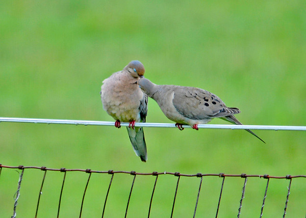 """<div class=""""jaDesc""""> <h4> Mourning Dove Kiss - August 23, 2014 </h4> <p>The female Mourning Dove unexpectedly leaned over and """"kissed"""" the male.  After that, they were grooming each others' neck feathers.  Pretty chummy pair.</p> </div>"""