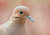 "<div class=""jaDesc""> <h4> Mourning Dove Close-up - April 9, 2012 </h4> <p>Sometimes the Mourning Doves come flying in without realizing I am there with my camera. This guy landed within 10 feet of me and let me get this close-up.</p> </div>"