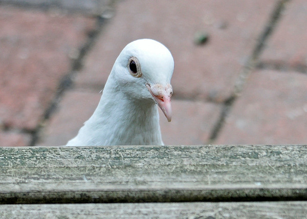"""<div class=""""jaDesc""""> <h4>Pure White Rock Dove Peek-a-Boo - August 20, 2014 </h4> <p>Our white Homing Pigeon visitor was pecking for seeds under the front edge of our porch when she popped her head up to look at me.</p> </div>"""