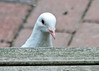 "<div class=""jaDesc""> <h4>Pure White Rock Dove Peek-a-Boo - August 20, 2014 </h4> <p>Our white Homing Pigeon visitor was pecking for seeds under the front edge of our porch when she popped her head up to look at me.</p> </div>"