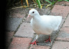 """<div class=""""jaDesc""""> <h4>Pure White Rock Dove Close-up - August 20, 2014 </h4> <p>The white Rock Dove flew to our front roof and watched my grand-kids and I put out all the bird seed.  When she felt it was safe, she flew down to gather millet seed that was spread on the brick walkway.</p> </div>"""