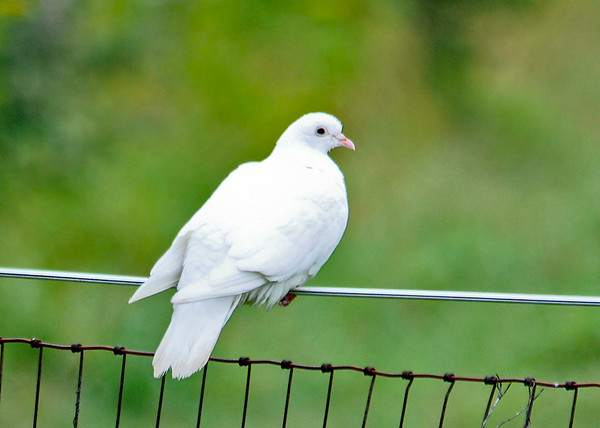 "<div class=""jaDesc""> <h4>Pure White Rock Dove - August 20, 2014 </h4> <p>My wife called me this morning to tell me there was a large white bird in the backyard.  This pure white Rock Dove was perched on our pasture fence wire. She is a homing pigeon that is one of 12 belonging to someone who lives about 5 miles from us.  She was having a bit of difficulty balancing on the wobbly fence wire.</p> </div>"