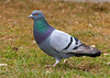 "<div class=""jaDesc""> <h4>Rock Dove on Budding Grass - March 15, 2010 </h4> <p>This was one of about twelve Rock Doves gathering seed droppings at a feeder in front of the Wild Birds Unlimited store in Johnson City, NY.  My 3 year old grandson enjoyed watching them with me.</p> </div>"