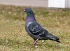 """<div class=""""jaDesc""""> <h4>Rock Dove Strutting Across Lawn - March 15, 2010 </h4> <p>This Rock Dove was strutting around under a bird feeder looking for fallen seed.</p> </div>"""