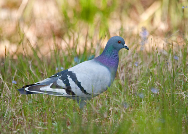 """<div class=""""jaDesc""""> <h4>Rock Dove Looking for Nesting Material - April 14, 2012 </h4> <p>A pair of Rock Doves were gathering nesting material from a grassy area under the Bay Bridge in Virginia Beach, VA.</p> </div>"""