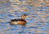 "<div class=""jaDesc""> <h4>Female American Wigeon - February 20, 2012 </h4> <p>Here is the female American Wigeon. She does not have the green coloring on her head and her back feathers are darker than the male. She does have the same light blue bill with black tip as the male.</p> </div>"