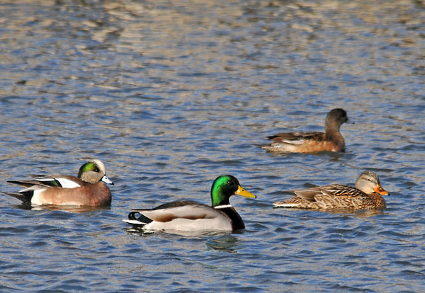 """<div class=""""jaDesc""""> <h4>American Wigeon Pair with Mallard Pair - February 20, 2012 </h4> <p>These American Wigeons were calmly swimming along with a Mallard pair at Stewart Park in Ithaca, NY.</p> </div>"""