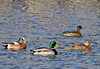 "<div class=""jaDesc""> <h4>American Wigeon Pair with Mallard Pair - February 20, 2012 </h4> <p>These American Wigeons were calmly swimming along with a Mallard pair at Stewart Park in Ithaca, NY.</p> </div>"