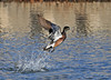 "<div class=""jaDesc""> <h4>American Wigeon Take-off - February 20, 2012 </h4> <p> I was tracking this male American Wigeon with my lens as he slowly paddled through the water. When he suddenly decided to take off, he exploded forward super fast.</p> </div>"