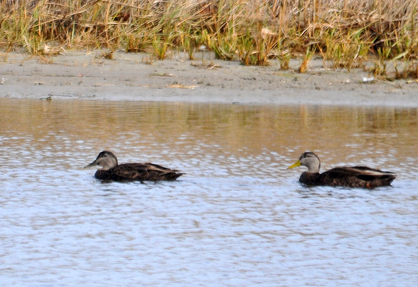 "<div class=""jaDesc""> <h4>Black Duck Pair - December 16, 2014 </h4> <p>A pair of Black Ducks paddled by at Bombay Hook NWR.  These ducks are normally very quick to take off, but they were unfazed by my presence.  Female is in front, male behind with yellow bill.</p> </div>"