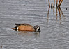 "<div class=""jaDesc""> <h4>Male Blue-winged Teal Dabbling - May 15, 2016</h4> <p>This male Blue-winged Teal was dabbling in the main pool at Montezuma NWR, NY.  It was one of only a few birds in the remaining water; the pool was mostly drained.</p> </div>"