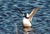 "<div class=""jaDesc""> <h4>Bufflehead Displaying for Female - March 27, 2011 </h4> <p>Four male Buffleheads were competing for the attention of one female. This guy was the winner, his wing flapping displays were definitely more exciting than the other three. Guess she agreed with me.</p> </div>"