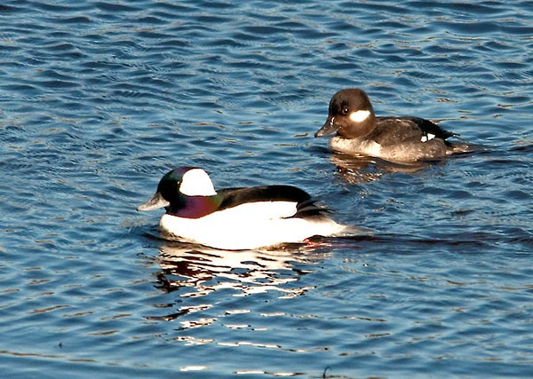 """<div class=""""jaDesc""""> <h4>Bufflehead Pair - March 27, 2011 </h4> <p>This is the lady Bufflehead that he successfully attracted over the other competing males. When Buffleheads form pairs and head north to their breeding grounds in Canada, it is the females who lead the way, always returning to their places of birth. Buffleheads nest in the cavities of trees, often in the previously used nest holes of Flicker Woodpeckers.</p> </div>"""