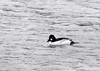 "<div class=""jaDesc""> <h4>Male Common Goldeneye - March 5, 2013 </h4> <p>16 Common Goldeneyes (10 males and 6 females) were diving for food in the Susquehanna River in Owego, NY. </p> </div>"