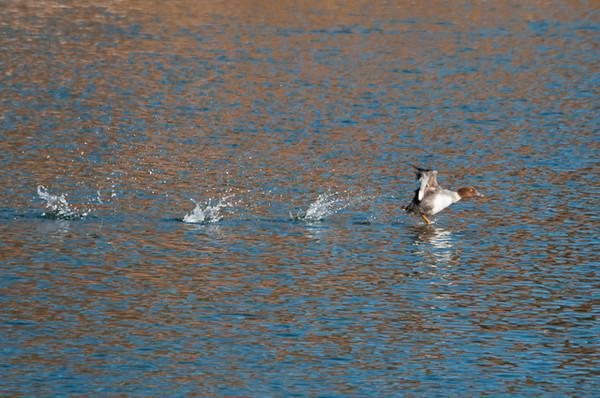 "<div class=""jaDesc""> <h4>Immature Female Common Goldeneye Taking Off - January 27, 2013 </h4> <p>Unexpectedly, she started a long take-off sequence (50-75 yards), flapping hard and taking quick steps on the water as she gained speed.</p> </div>"