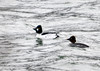 "<div class=""jaDesc""> <h4>Common Goldeneye Pair - March 5, 2013 </h4> <p>Some of the Goldeneyes have already paired up for the coming season.  No other males were allowed near this guy's gal. </p> </div>"