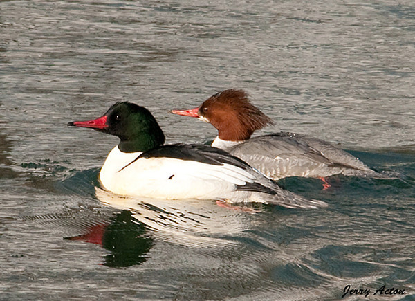 """<div class=""""jaDesc""""> <h4>Common Merganser Pair #1 - January 14, 2010 </h4> <p> This pair of Common Mergansers was swimming in the Chenango River in Binghamton, NY.  A second male joined them as they swam down the river.</p> </div>"""