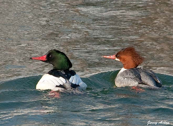 "<div class=""jaDesc""> <h4>Common Merganser Pair #2 - January 14, 2010 </h4> <p> This pair of Common Mergansers created a bow wave in front of them as they swam against the current.  Notice that with this species, the female has a crest while the male does not. The male's head is iridescent, appearing either black or green depending on the light.</p> </div>"