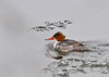 "<div class=""jaDesc""> <h4>Female Common Merganser Paddling in River - March 5, 2014 </h4> <p>This female Common Merganser was paddling upstream in the Susquehanna River.  Two males were following closely, probably seeking to be her mate.</p> </div>"