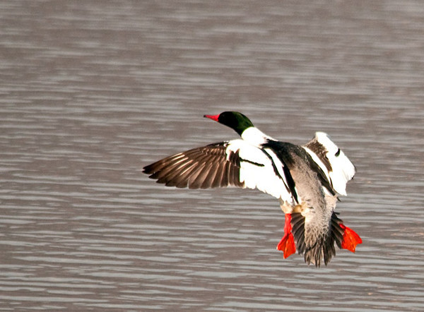 """<div class=""""jaDesc""""> <h4>Male Common Merganser Landing - March 7, 2011 </h4> <p> This male Common Merganser was inbound to land next to 3 other males and one female. In an attempt to win over the female, he became the aggressor. He would put his beak down, paddle quickly at the other males and ram them in the side. She was not impressed and flew off.</p> </div>"""