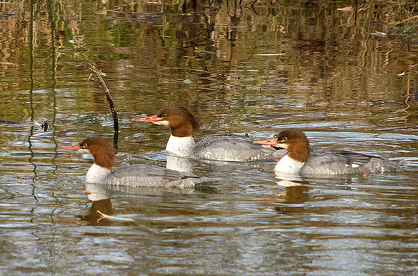 "<div class=""jaDesc""> <h4>Female Common Merganser Trio - October 24, 2008 </h4> <p> My guess is that this is a mother female Common Merganser with her two young females from this year.  The two nearest ducks appear to be a bit smaller.</p> </div>"
