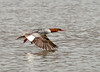 "<div class=""jaDesc""> <h4>Female Common Merganser Taking Off - March 7, 2011 </h4> <p> The female Common Merganser decided to fly off and leave the males to tussle. She flew a long distance with her wing tips barely above the water.</p> </div>"