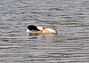 "<div class=""jaDesc""> <h4> Male Common Merganser Grooming - March 26, 2014 - Video Attached</h4> <p>I had never seen a Merganser roll over on its side to groom.  He wanted to make sure every feather was just right.</p>  </div> <center> <a href=""http://www.youtube.com/watch?v=HkphbNGnBTk""  style=""color: #0000FF"" class=""lightbox""><strong> Play Video</strong></a>"