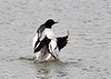 "<div class=""jaDesc""> <h4>Male Common Merganser Wing Flap - March 26, 2014 </h4> <p>This male Common Merganser did a rapid wing flap to finish off a lengthy grooming session.</p> </div>"