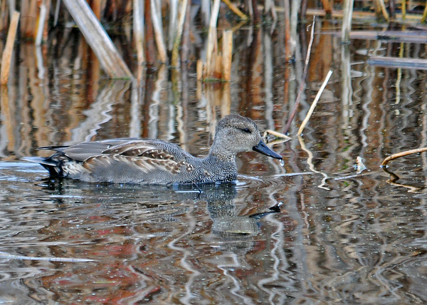 "<div class=""jaDesc""> <h4>Gadwall in the Shadows - November 10, 2014 </h4> <p>In the shadows, this male Gadwall (black beak) is mostly gray.  Main pool at Montezuma NWR.</p> </div>"