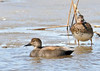 "<div class=""jaDesc""> <h4>Gadwall Pair - March 31, 2014 </h4> <p>The female Gadwall on the right has a mottled coloring to blend in with her nesting area.  Their breeding grounds are in Northwestern NY and southern Canada.</p> </div>"